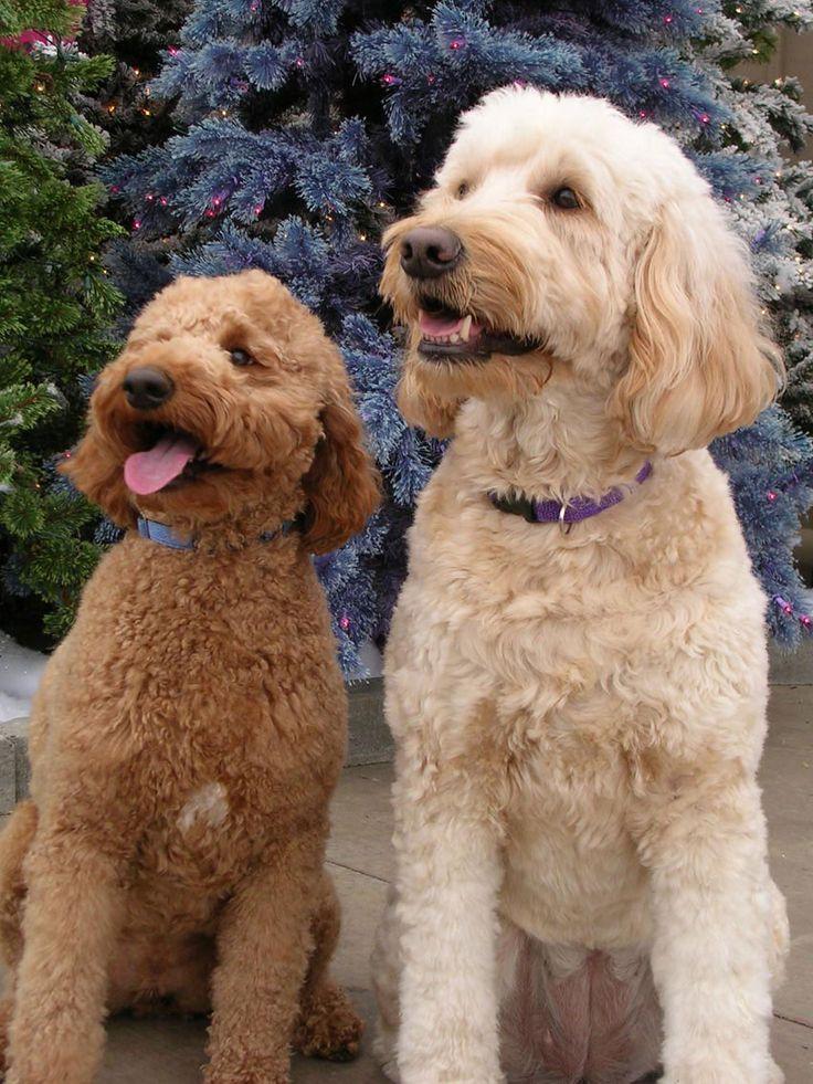 Порода собак лабрадудель и лабрадудель австралийский: фото, видео, описание породы и характер
