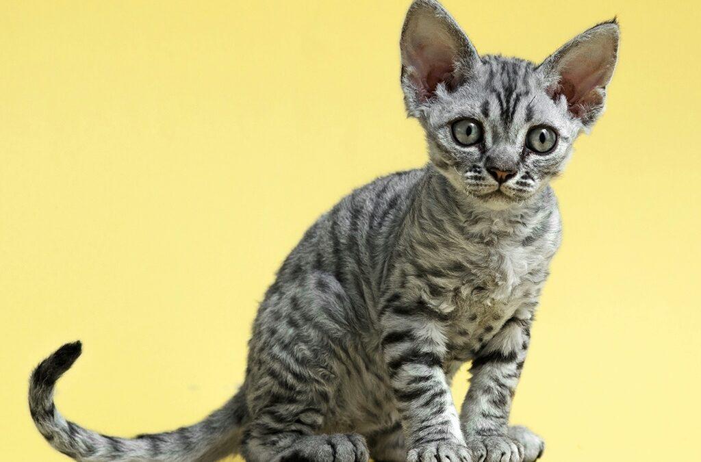 Гипоаллергенные породы кошек с фотографиями и названиями