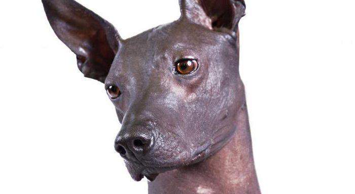 Порода собаки перуанская орхидея инков
