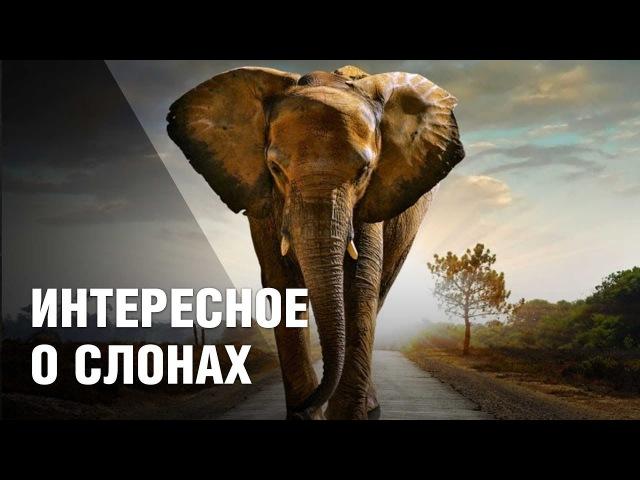 10 интересных фактов о слонах – самых крупных животных суши