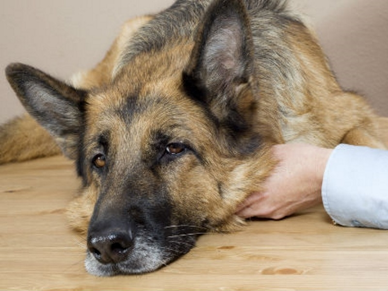 Чумка у собак: симптомы, признаки и лечение