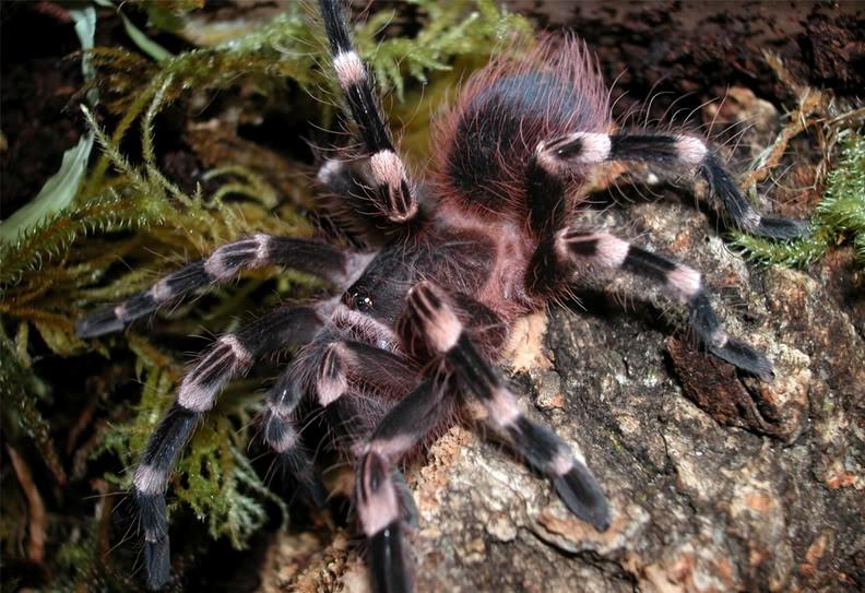 Чем кормить паука птицееда, как содержать в домашних условиях, сколько живут