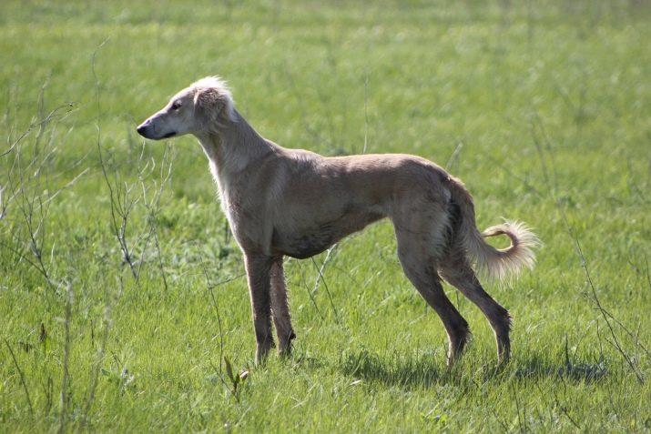 ᐉ собаки породы борзая — виды борзых и особенности ухода, их описание и фото - zoovet24.ru