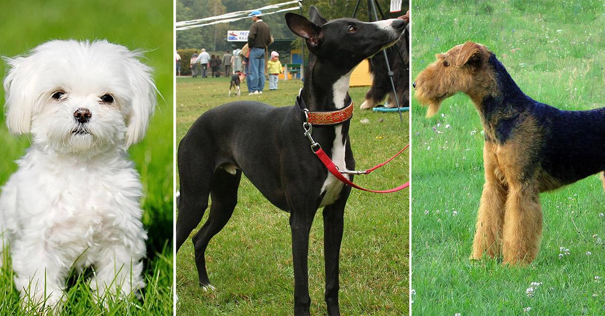 Гипоаллергенные собаки: список пород и их особенности
