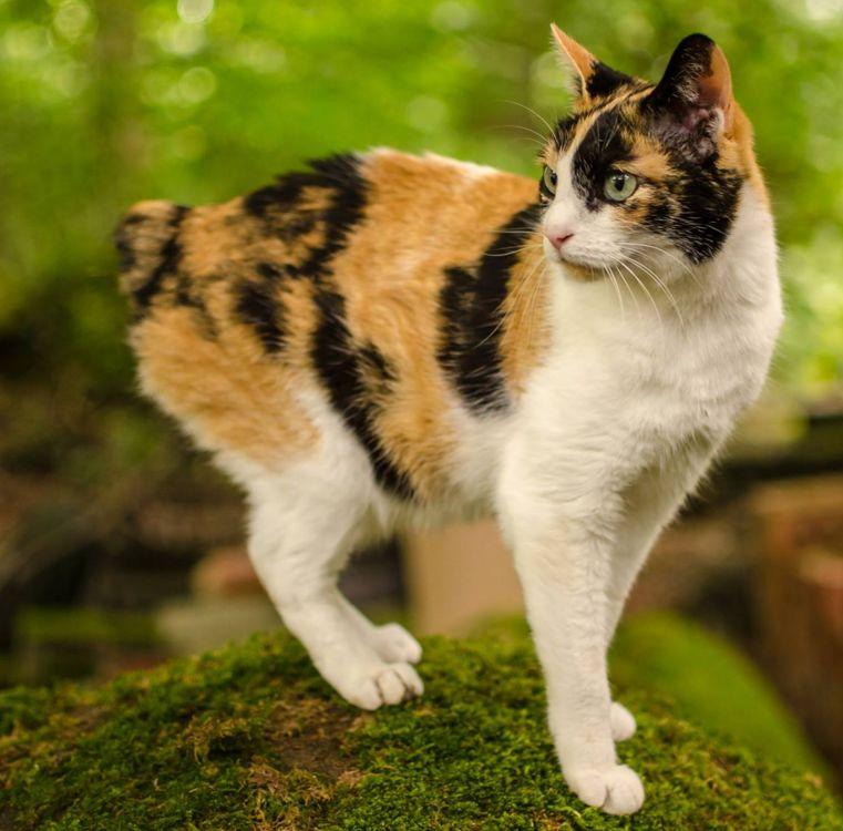 Японский бобтейл: описание породы кошек, уход, цена