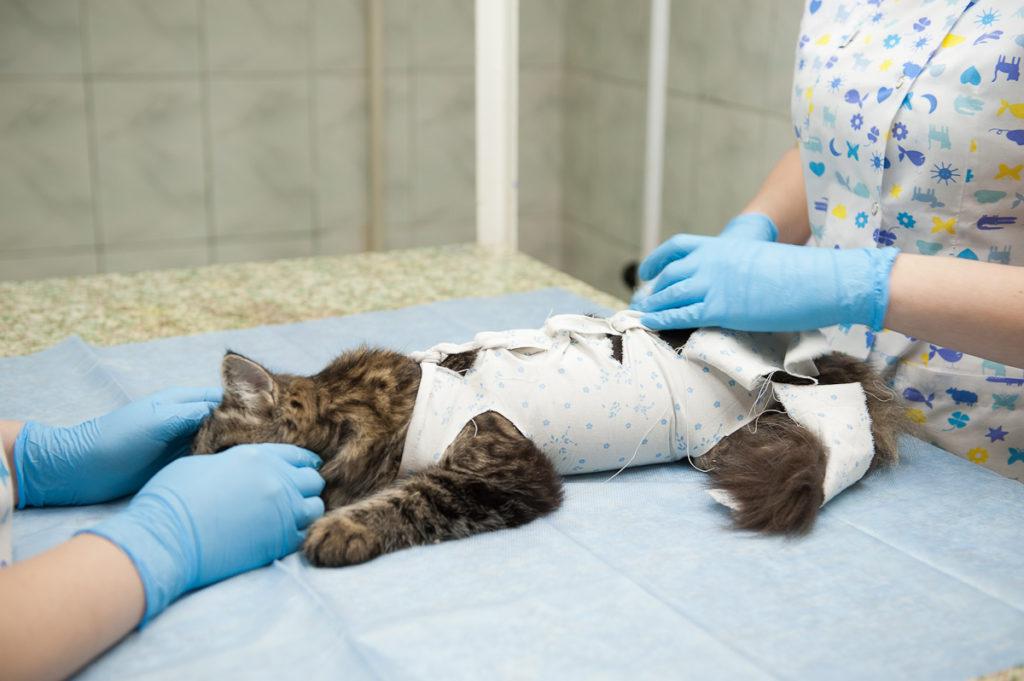 Чем кормить кошку после стерилизации: советы ветеринара