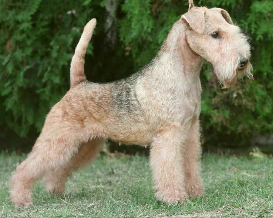 Характеристика собак породы лейкленд терьер с отзывами и фото
