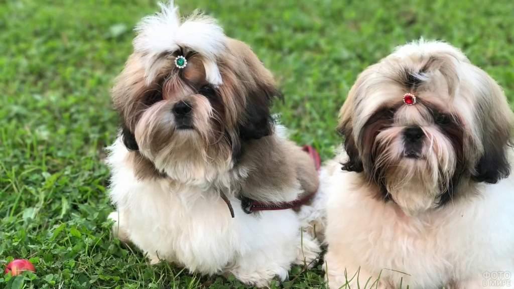 Ши-тцу собака фото, описание породы, цена щенков, отзывы владельцев