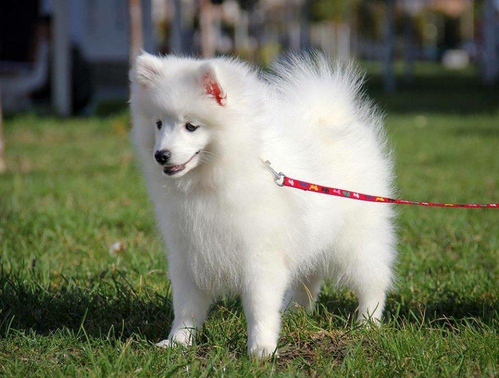 Японский шпиц: отзывы. «японский шпиц — мегапозитивная собака»
