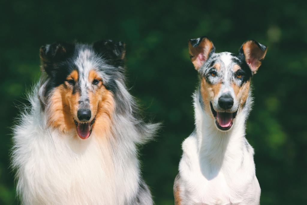 Шотландская овчарка колли: описание породы и характер собаки