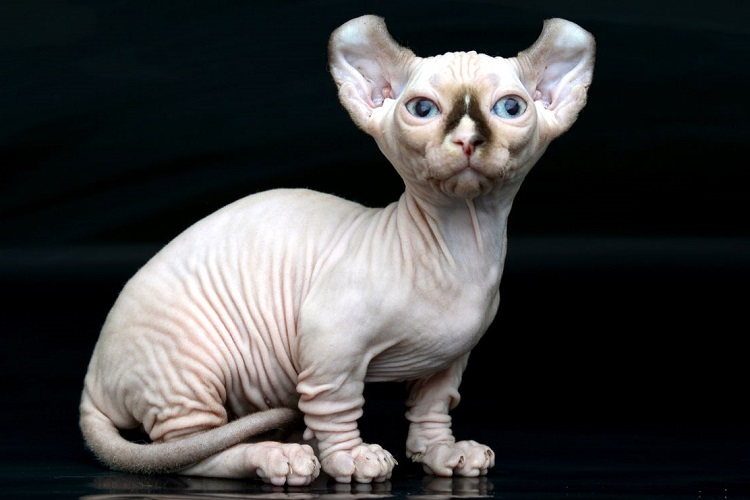 Бамбино (кошка): описание породы