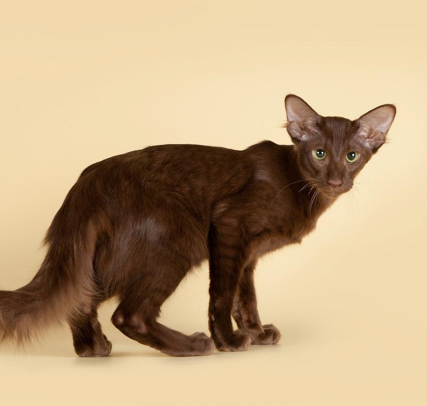 Яванская кошка (яванез): фото, цена, описание породы, характер, видео, питомники
