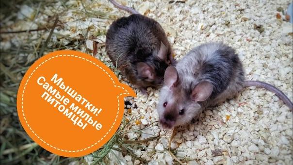 Как ухаживать за новорожденными мышками