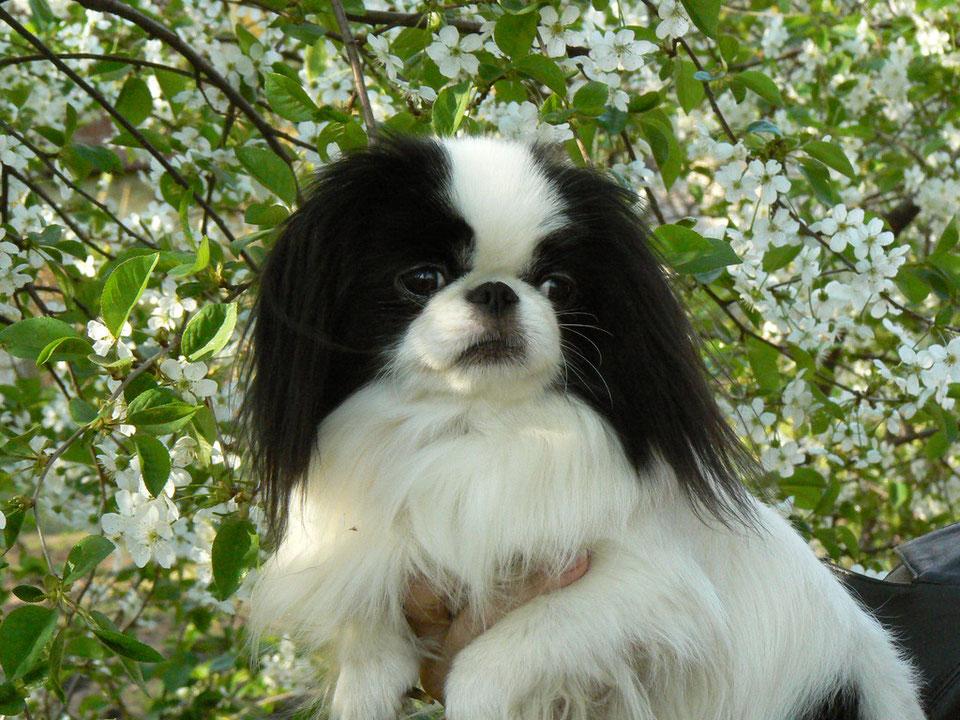 Японский хин фото, описание породы характер, цена щенка, отзывы