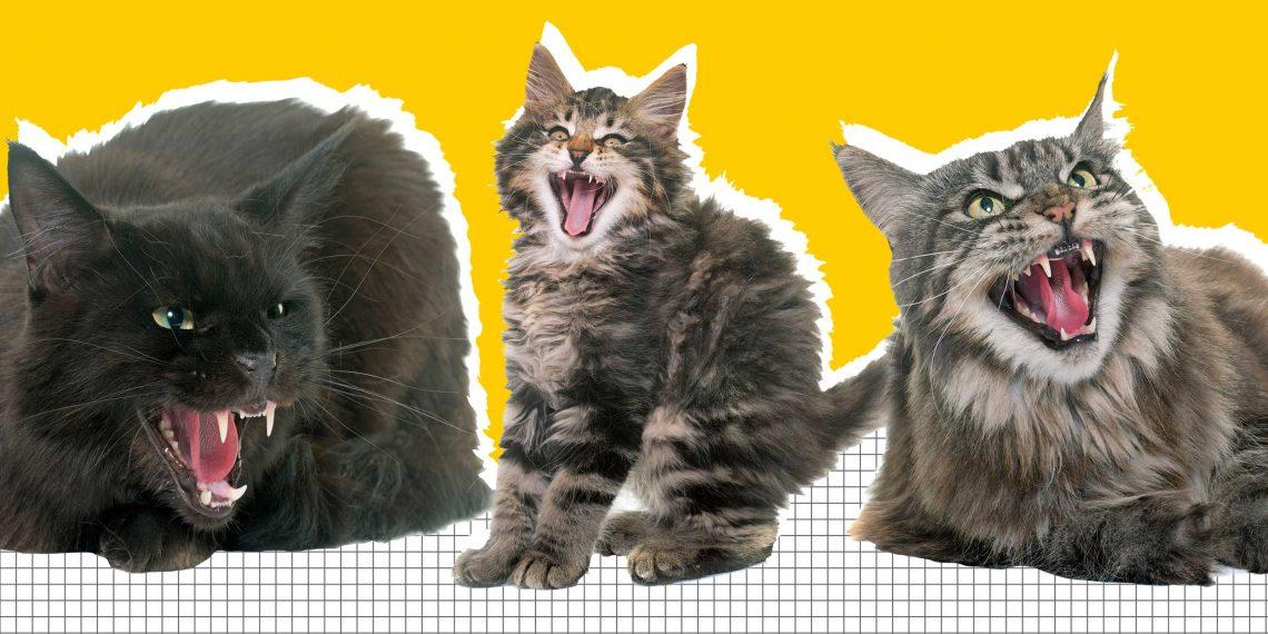 Почему кошка после стерилизации может стать агрессивной