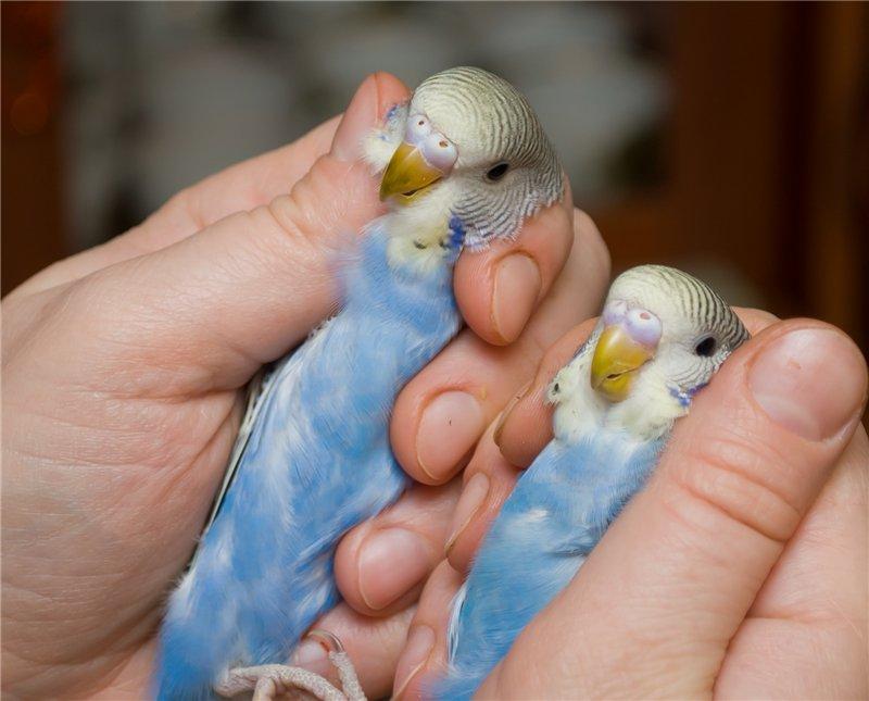 Как выбрать волнистого попугая, выставочные попугаи, фото и видео