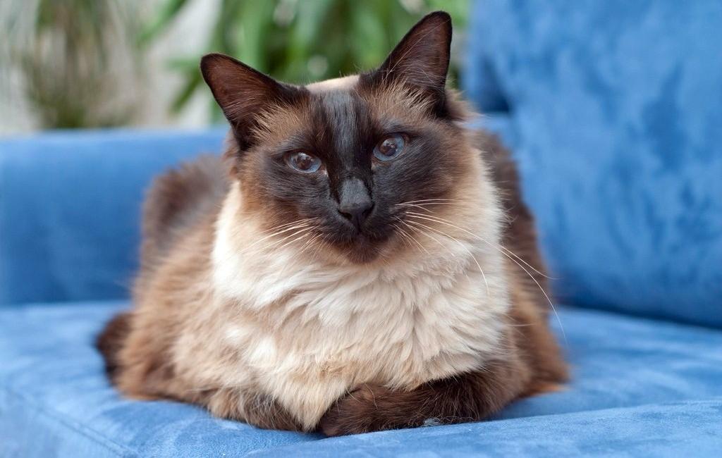 Балинезийская кошка: описание породы