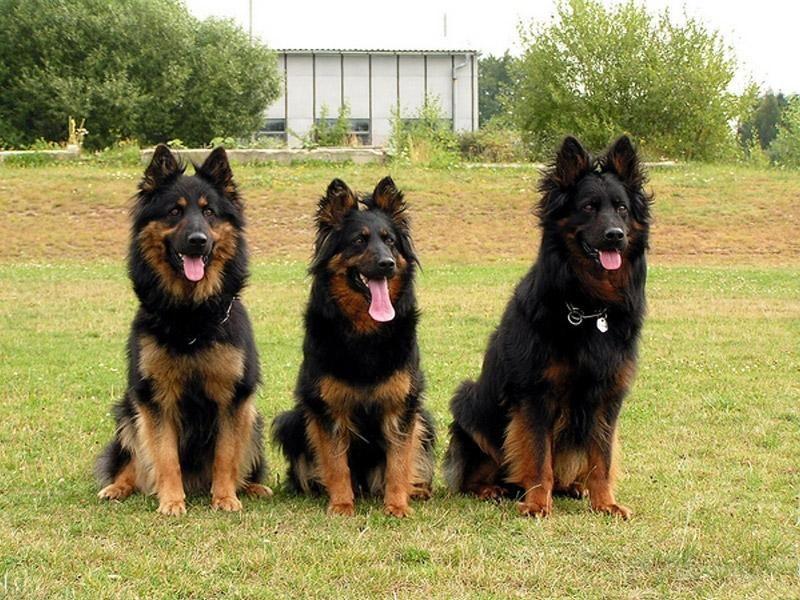 Немецкая овчарка - 113 фото собаки с самыми умными глазами