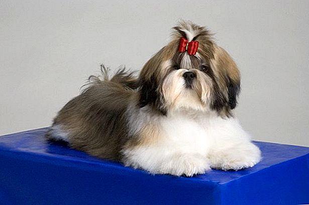 Собака ши-тцу - описание породы от а до я. топ-100 фото собаки, плюсы и минусы породы, история, характер