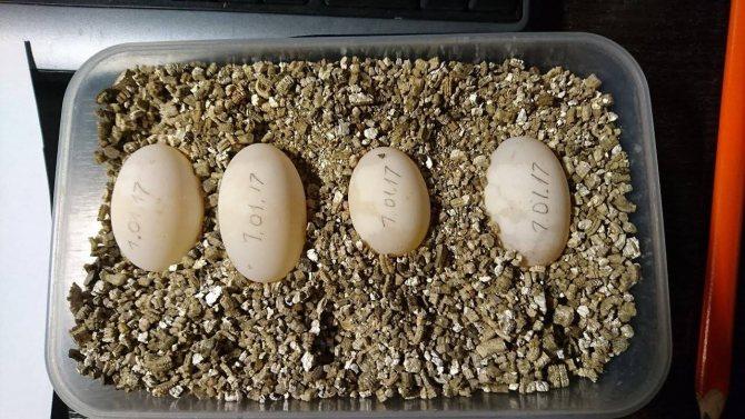 Яйца черепах: различия и оплодотворенность - все о черепахах и для черепах. черепаха снесла яйцо, что делать (красноухая, среднеазиатская)