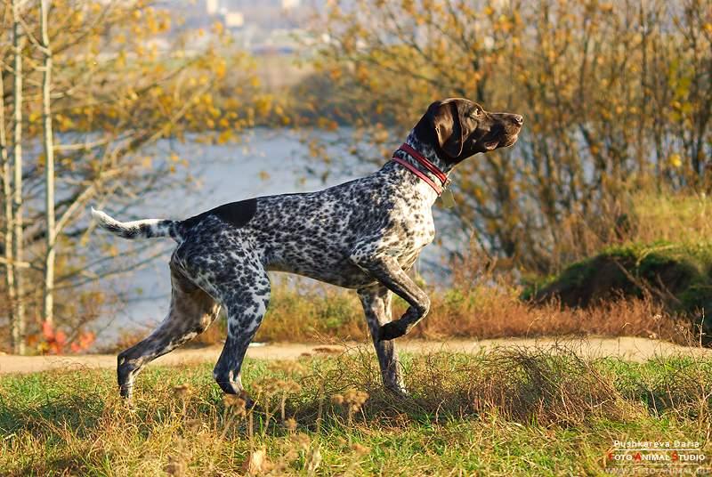 Курцхаар: описание внешности и характера собак, их содержание