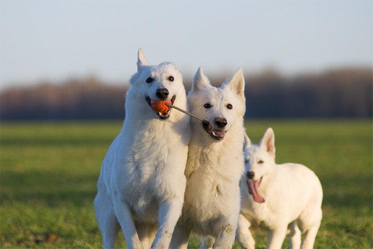 Белая швейцарская овчарка: фото все о породе бшо, вес, рост, характер, цена и разновидности собаки