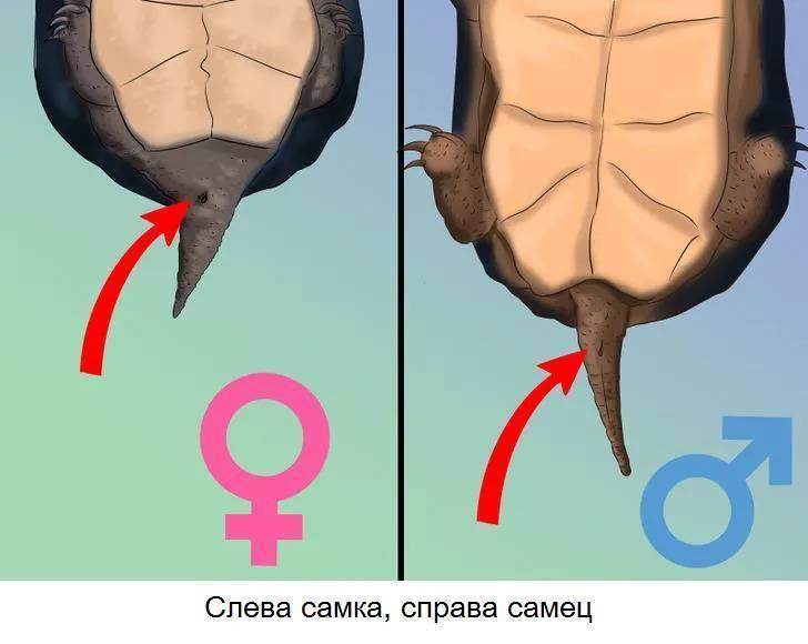 Красноухая черепаха: как определить пол. как определить пол у красноухих черепах (фото и видео)