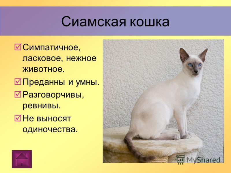 Сиамская кошка — упрямая порода