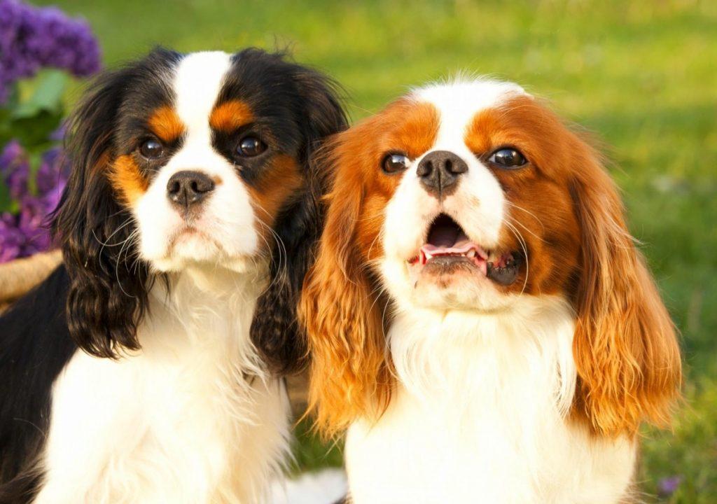 Как выбрать щенка кавалер-кинг-чарльз-спаниеля