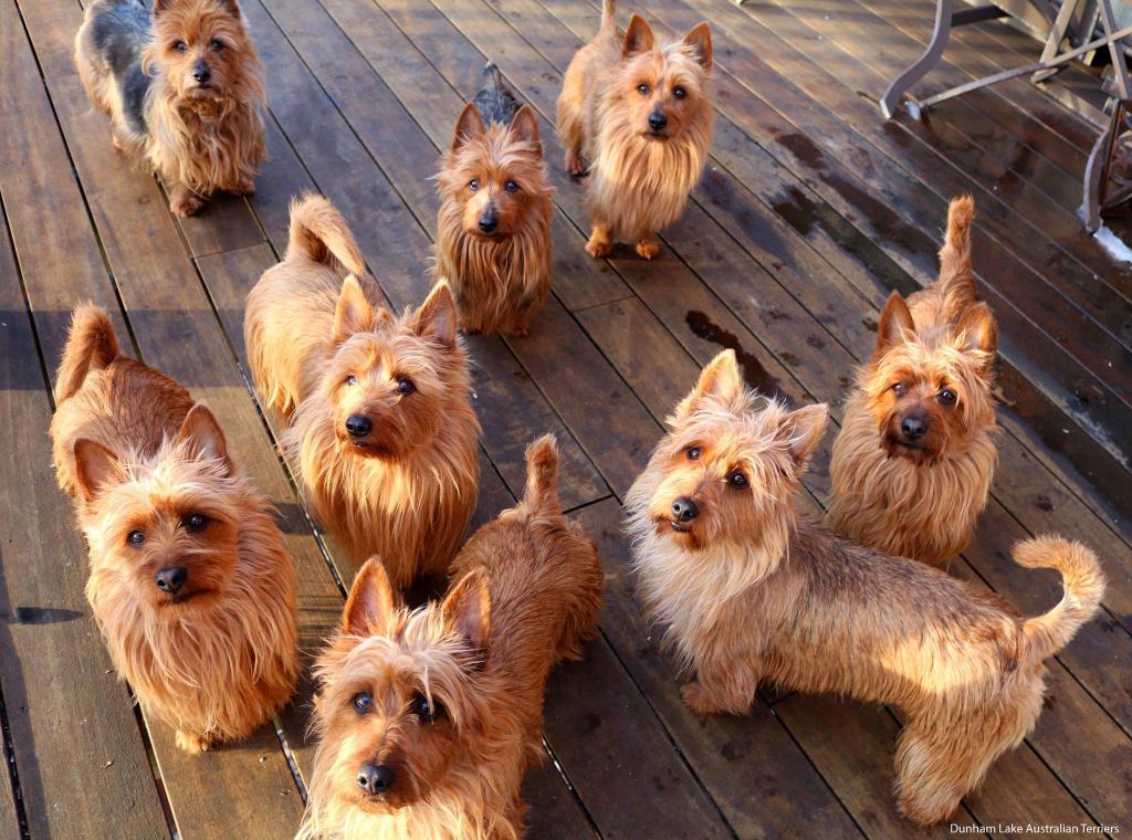 Все виды терьеров   фото, описание, стоимость породы for-pet