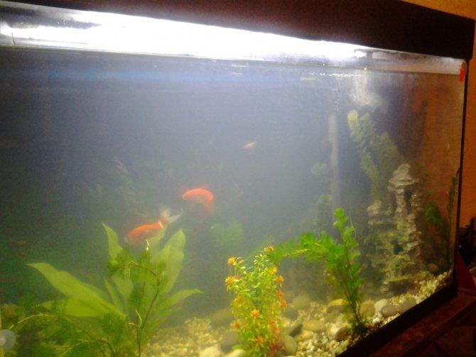 Почему стала белой вода в аквариуме и как с этим бороться?