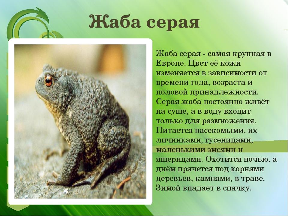 Обыкновенная серая жаба, или коровница | мир животных и растений