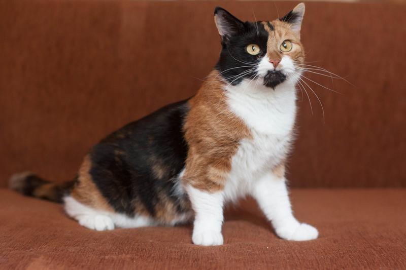 Трехцветные кошки: породы, характер и интересные факты