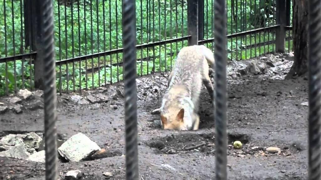 Собака роет ямы: причины и как ее отучить   все о собаках