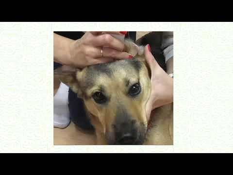 ᐉ как почистить собаке уши? - ➡ motildazoo.ru