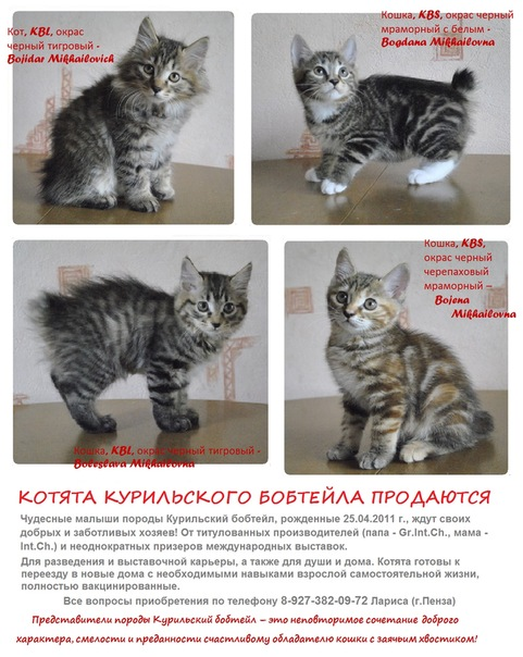 Кошки породы курильский бобтейл, особенности характера и разновидности окрасов, фото кошек
