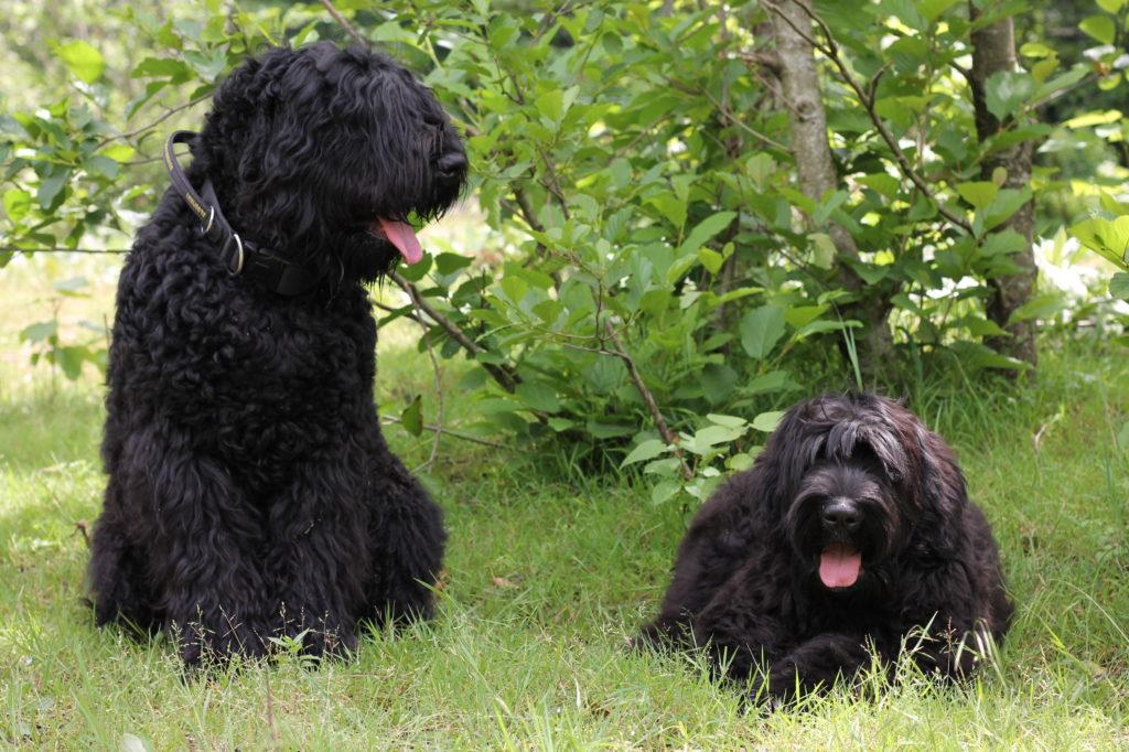 Русский чёрный терьер — хороший охранник и домашний компаньон