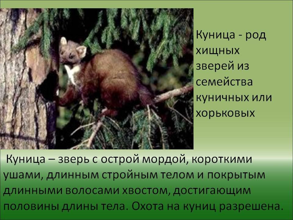 Лесная куница. образ жизни и среда обитания лесной куницы