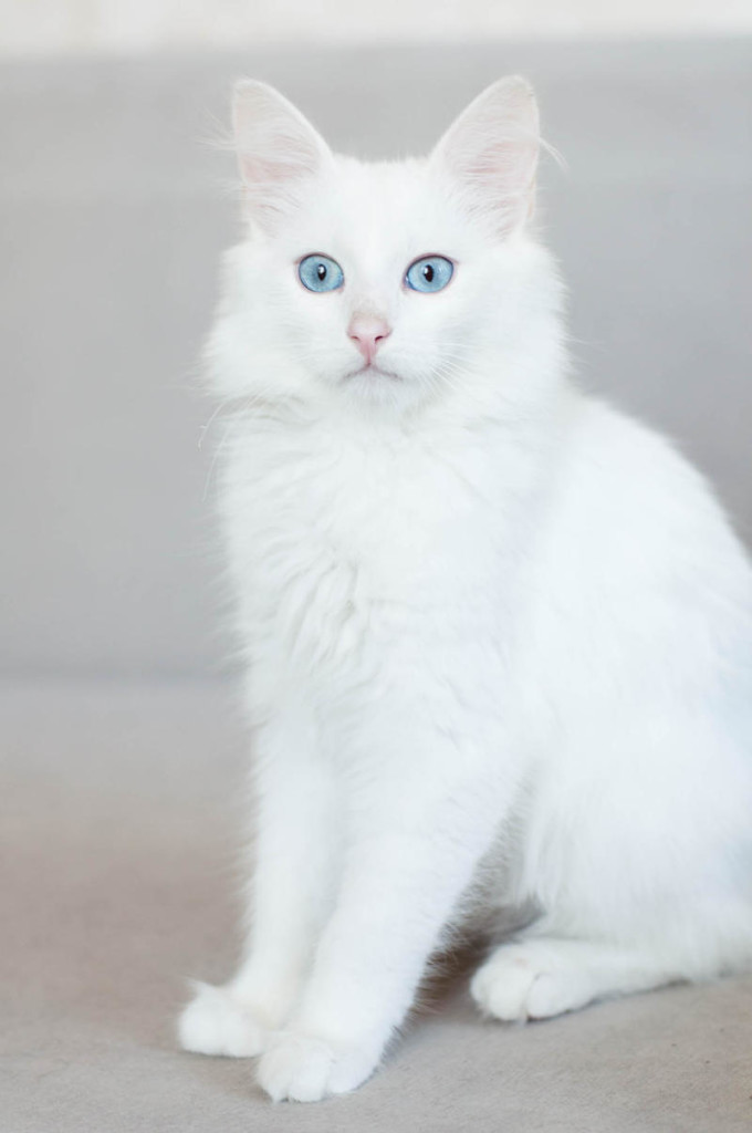 Топ-21 самых популярных пород кошек и их особенности - wlcat.ru