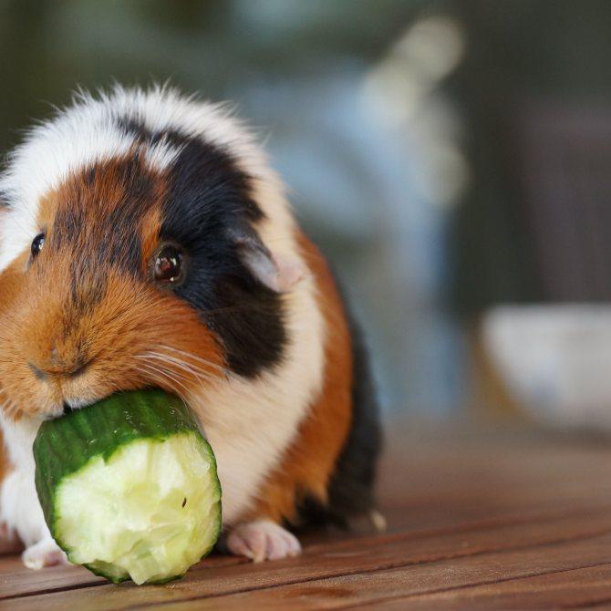 Чем кормить морскую свинку