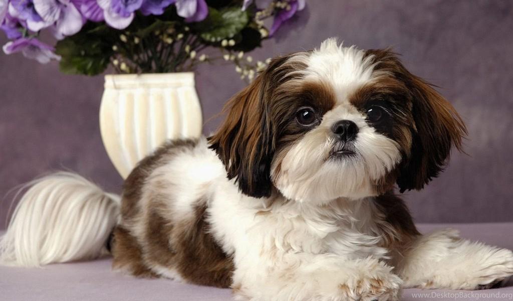 Ши-тцу: описание древней китайской породы собак, советы по уходу и содержанию
