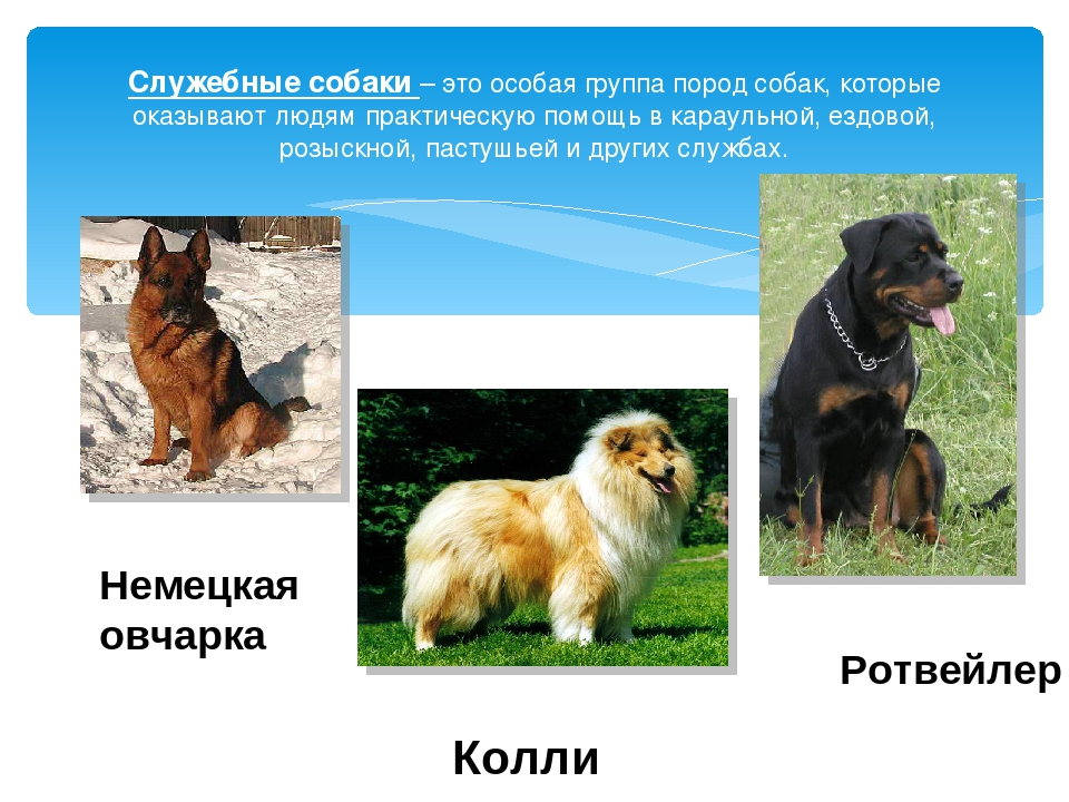 Служебные собаки породы краткое описание