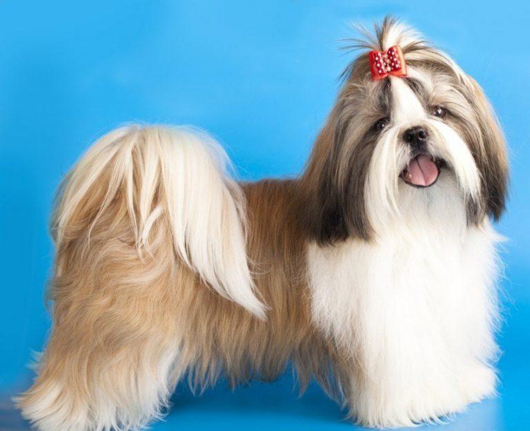 Ши-тцу́: фото собаки, характер, все о содержании и уходе