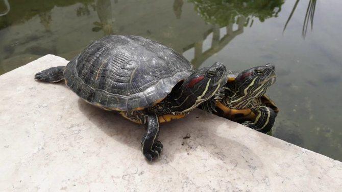 Ложатся ли красноухие черепахи в спячку. спячка красноухой черепахи