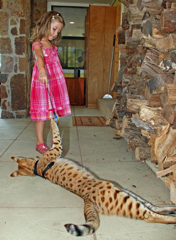 Самые большие домашние кошки в мире