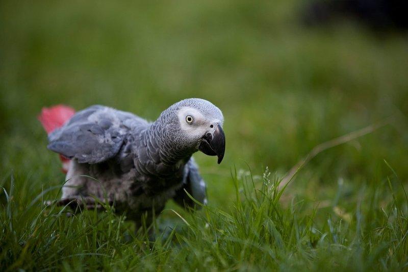Попугай жако. все интересные факты о жизни и повадках самого умного африканского попугая
