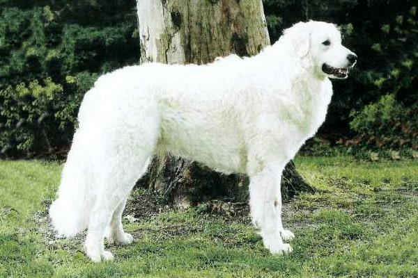 Кувас (48 фото): описание породы собак, особенности ухода за щенками венгерского куваса