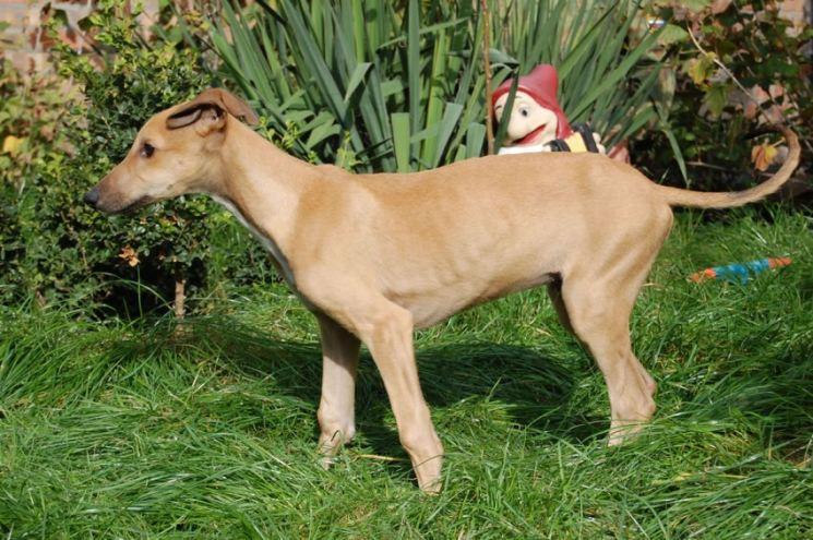 Грейхаунд: описание собак породы английская борзая. как выбрать щенка и правильно тренировать животных?