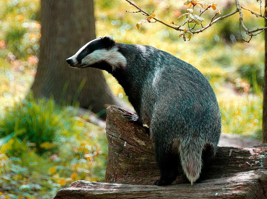 Барсук | описания и фото животных | некоммерческий учебно-познавательный интернет-портал зоогалактика