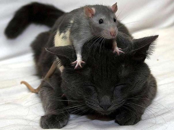 Как понять, что кот — крысолов?